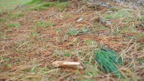 Pine roots strewn with dry red and green needles and conifer trunk close-up. With green grass