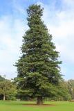 The Pine. From Royal botanic garden Sydney NSW Australia Stock Images