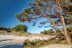 Pine on the sandy beach on Bornholm Royalty Free Stock Photography