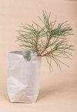 Pine sapling as a gift Royalty Free Stock Image