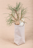 Pine sapling as a gift Stock Photography