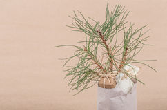 Pine sapling as a gift Royalty Free Stock Photo
