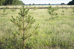 Pine saplings in field. Young pine saplings in field Stock Photo
