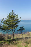 Pine on the sea Stock Photography
