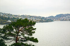 Pine at the sea. Bergen. Norway Royalty Free Stock Photography
