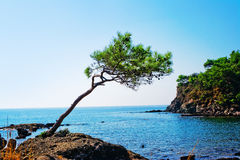 Pine on a sea coast Royalty Free Stock Photos