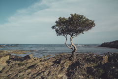 Pine in the seashore Stock Images