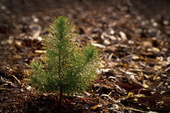 Pine Seedling. In Forest with copy space Royalty Free Stock Photo