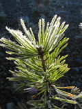 Pine seedling Royalty Free Stock Photos