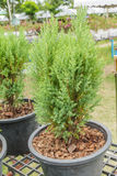 Pine seedling in potted for sale. Stock Photo