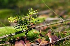 Pine seedling Stock Image