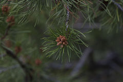 Pine Seeds on a Tree Branch Stock Photos