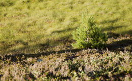 Pine with shade in heather Stock Image