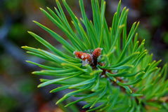 Pine shoot Stock Photography