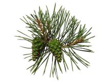 Pine shoot with two cones. On white background, isolated Royalty Free Stock Photos
