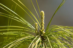 Pine shoots Royalty Free Stock Images