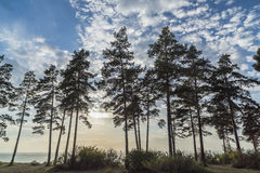 Pine on the shore against the blue sky Royalty Free Stock Photography