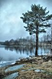 Pine on the shore of the winter lake. Pine on the shore of the icy lake in Karelia, Russian Royalty Free Stock Photos