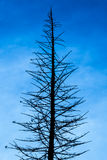 Pine silhouette. And blue sky Stock Photography