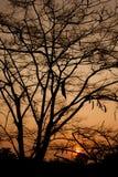 Pine silhouette Royalty Free Stock Photos