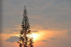 Pine silhouette. Have background is sunset Stock Photos
