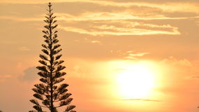 Pine silhouette. Have background is sunset Stock Images