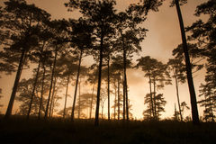 Pine silhouette Royalty Free Stock Photography