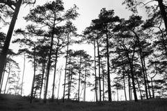Pine silhouette Royalty Free Stock Image