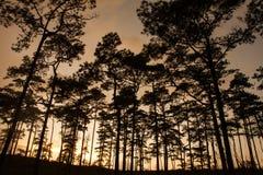 Pine silhouette Stock Photo