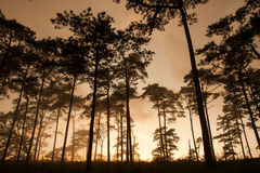 Pine silhouette Stock Images