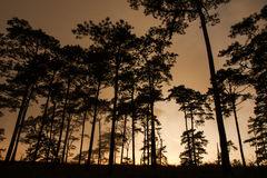 Pine silhouette. And Sunset in thailand Stock Images