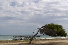Pine with singular shape on a beach of Santa Pola Stock Photos