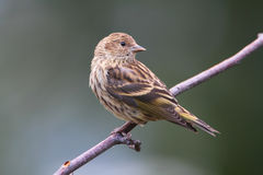 Pine Siskin Royalty Free Stock Photo