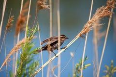 Pine Siskin bird Royalty Free Stock Image