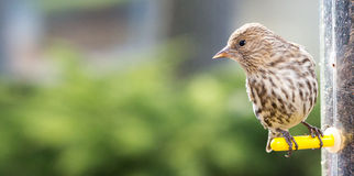 Close up bird at thistle bird feeder. Close up of small Pine Siskin bird, Pin Siskin at bird feeder eating thistle feed with blurred background Royalty Free Stock Photos