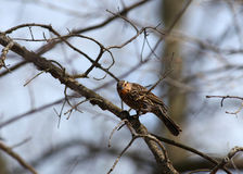 Pine Siskin bird Royalty Free Stock Photo
