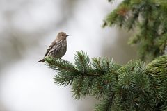 Pine siskin bird Stock Images