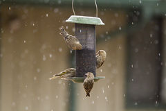 Pine Siskin Birds On Feeder With Snow Stock Image