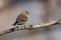 Pine Siskin. On a branch stock photography