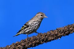 Pine Siskin (Carduelis pinus) on a perch Royalty Free Stock Photo