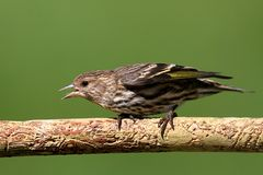 Pine Siskin (Carduelis pinus) Perched Royalty Free Stock Images