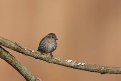 Pine Siskin (Carduelis pinus pinus) Royalty Free Stock Images