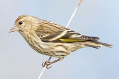 Pine Siskin - Carduelis pinus Stock Photos