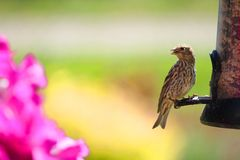 Pine Siskin (Finch) Royalty Free Stock Photo