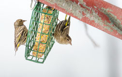 Pine Siskin finches Carduelis pinus - in spring competing for space and food at a feeder. Royalty Free Stock Images
