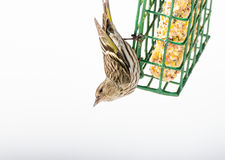 Pine Siskin finches Carduelis pinus - in spring competing for space and food at a feeder. Royalty Free Stock Photo