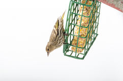 Pine Siskin finches Carduelis pinus - in spring competing for space and food at a feeder. Stock Photography