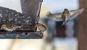 Pine Siskin finches (Carduelis pinus) - in spring competing for space and food at a feeder in a northern Ontario woods. Stock Photo