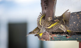 Pine Siskin finches (Carduelis pinus) - in spring competing for space and food at a feeder in a northern Ontario woods. Royalty Free Stock Image