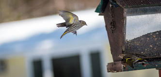 Pine Siskin finches (Carduelis pinus) - in spring competing for space and food at a feeder in a northern Ontario woods. Royalty Free Stock Photography